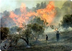 Burning Palestinian olive trees