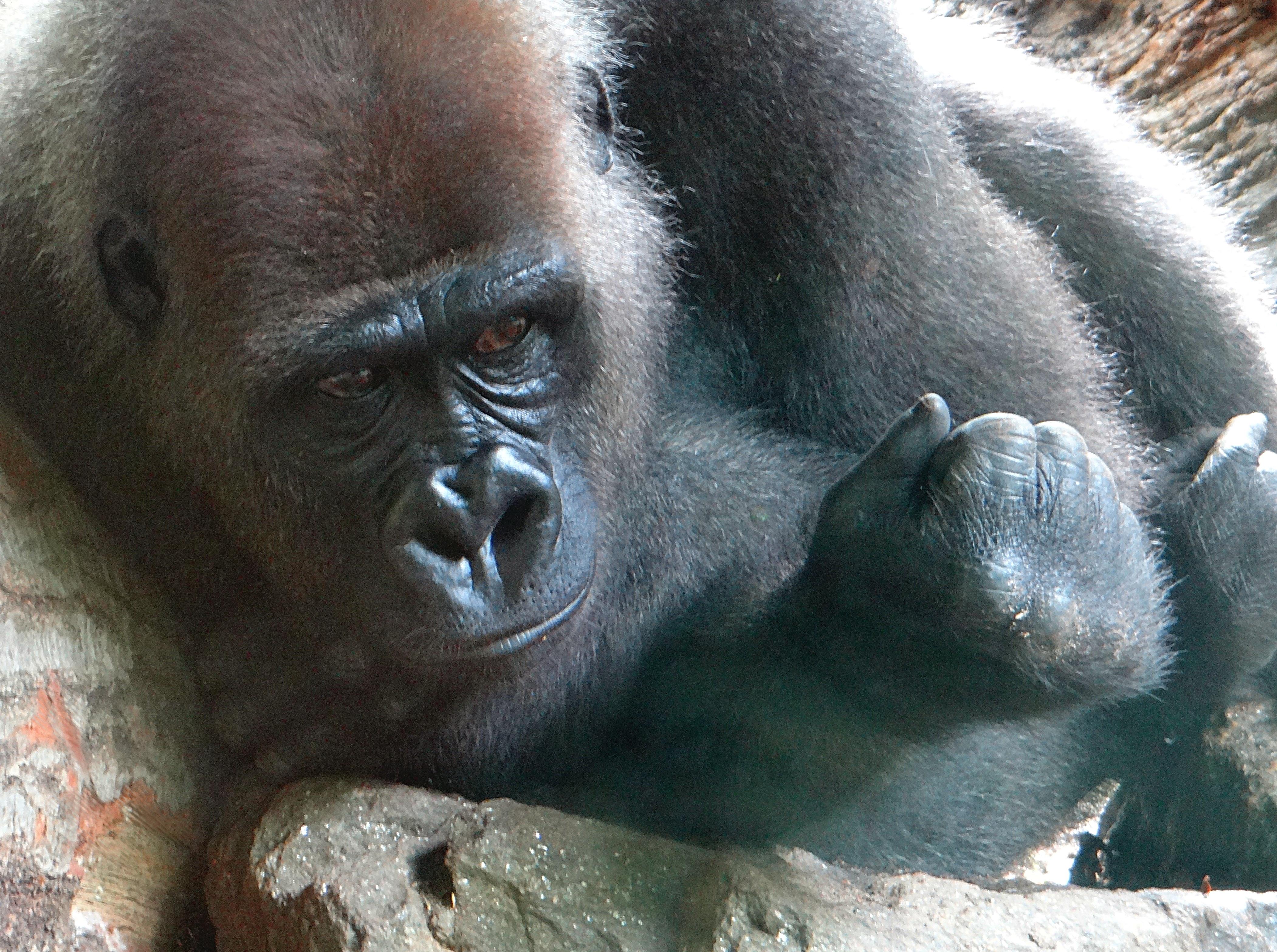 Gorilla at the Bronx Zoo